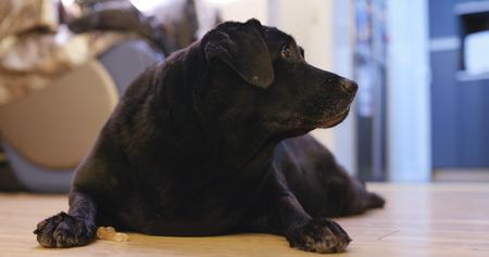 Adult Black Labrador Retriever