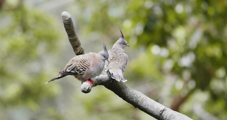 Pair of crested pigeon