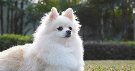White Pomeranian dog at outdoor park