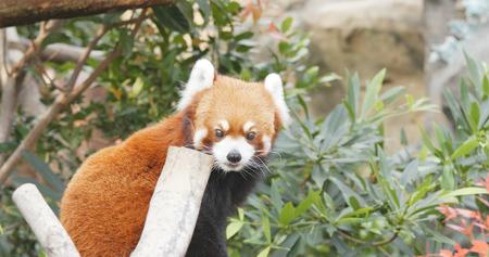 Adorable Red panda Stock Photo