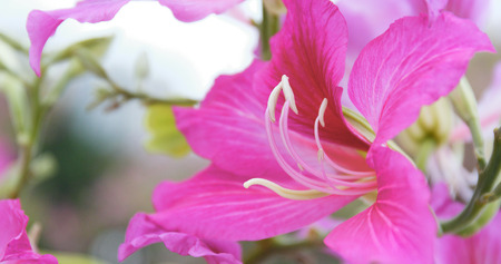 Bauhinia flower in garden