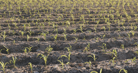 New young corn in the field