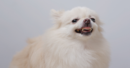 Pomeranian day getting angry