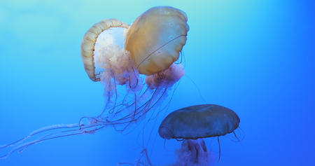 Jelly fishes in an aquarium  Stock Photo