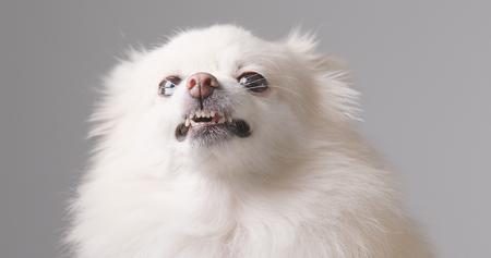 White Pomeranian dog get angry over white background  Stock Photo