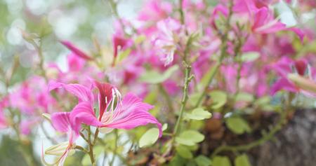 Pink Bauhinia flower in park