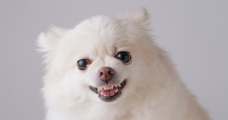 White Pomeranian getting angry  Stock Photo