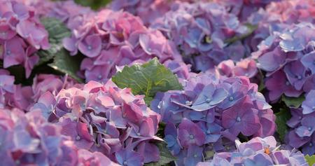 Hydrangea flower field Banque d'images - 100512211