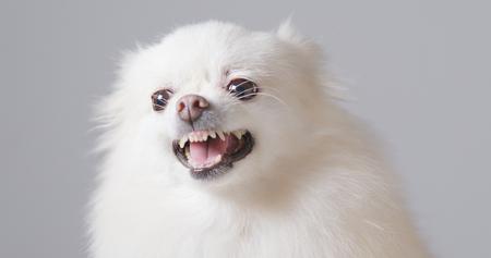 Pomeranian dog get angry