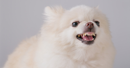 White Pomeranian feeling angry Stock Photo