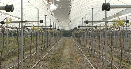 Fresh new planting new grape in farm Stock Photo