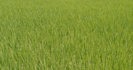 Paddy rice field in Taiwan, Yilan
