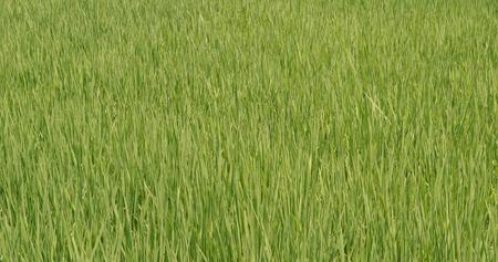 Fresh Paddy rice field in Taiwan, Yilan