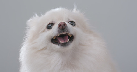 White Pomeranian getting angry