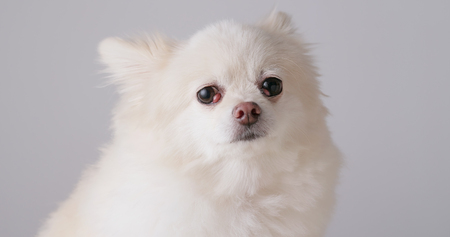 White pomeranian looking at camera