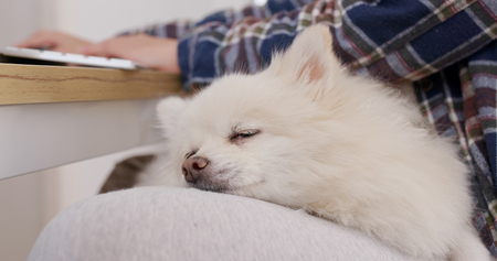 Pomeranian dog sleep on woman legs