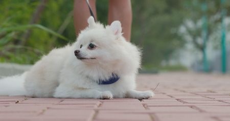 Pomeranian dog going out with owner