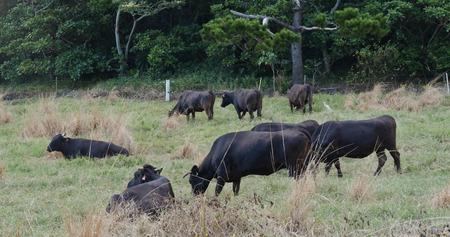 Cow farm in ishigaki island