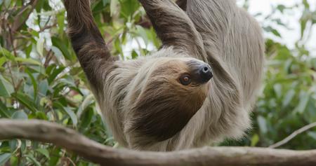 Sloth on tree Stockfoto