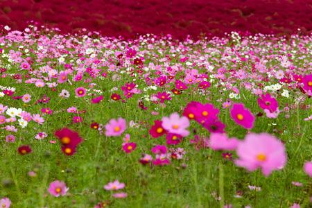 Cosmos flower field garden Reklamní fotografie