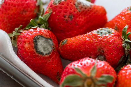 Gray mold on red ripe fresh strawberries