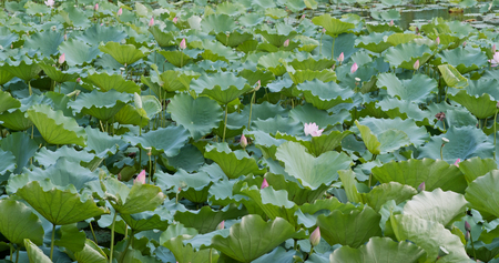 Beautiful Lotus flower pond