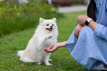 Pommeren hond in park