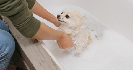 Pomeranian dog taking bath