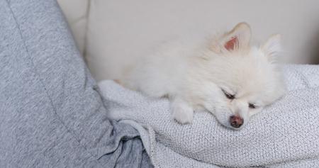 weißer pommerscher hund schläft ruhig Standard-Bild