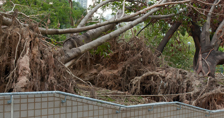 Tree collapse after typhoon disaster