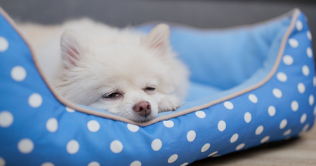 Pomeranian dog sleeping on bed