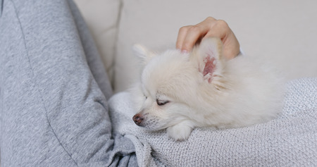 Sleep white pomeranian with pet owner cuddle Foto de archivo