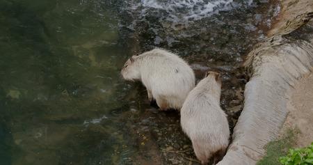 Capybara in zoo park