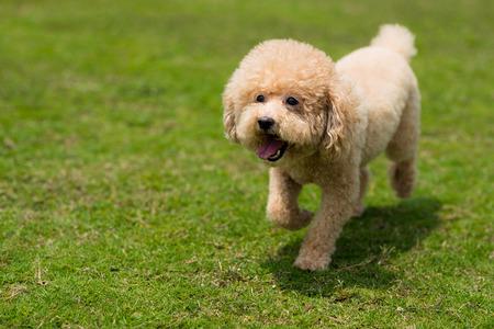 Perro caniche en el parque