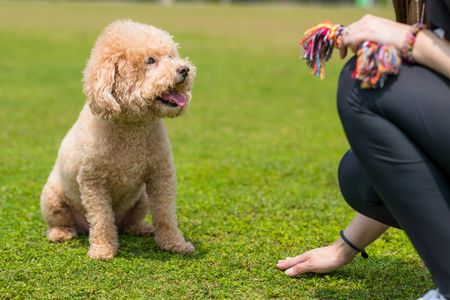 Pet owner train his dog poodle
