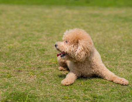 Dog Poodle lying down on the green lawn Stock Photo