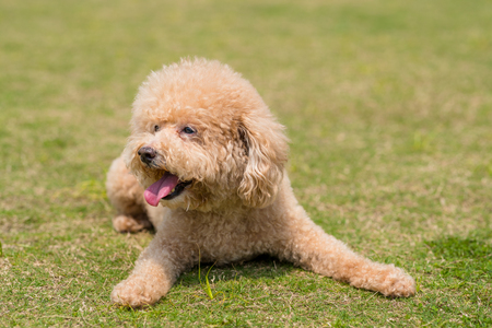 Dog Poodle lying down on the green lawn