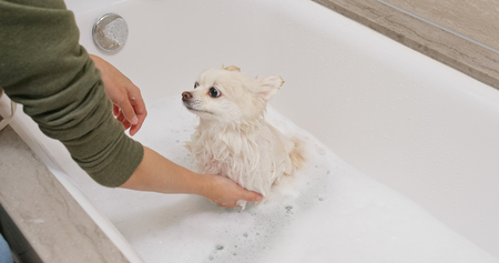Pomeranian dog take bath 스톡 콘텐츠