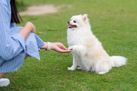 Woman train on White pomeranian dog in the park Stock Photo