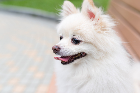 White Pomeranian dog sit on park