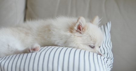 White pomeranian sleep on sofa at home