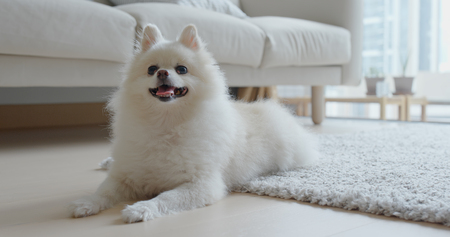 White pomeranian lying on the floor at home