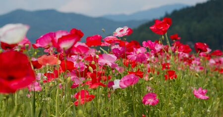 Beautiful Poppy flower garden park Archivio Fotografico