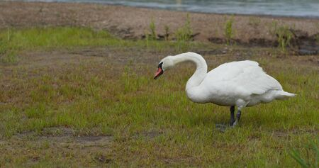 White swan eat with green grass