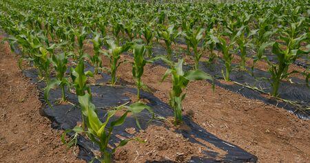 Corn plant field close up