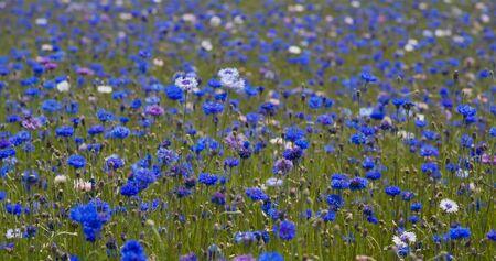 Beautiful Corn flower in blue