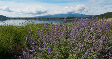 Mountain in Kawaguchiko Lake with lavender field