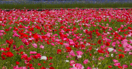 Beautiful Poppy flower garden park 免版税图像