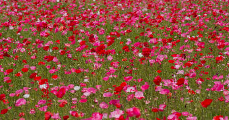 Beautiful Pink Poppy flower field 免版税图像