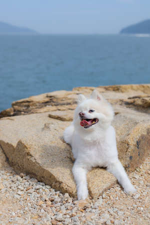 White pomeranian sit on the rock 免版税图像